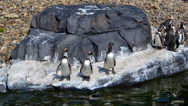 Three penguins on a rock and more