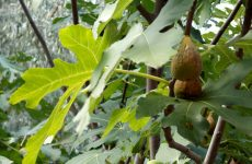 Figs in fig tree
