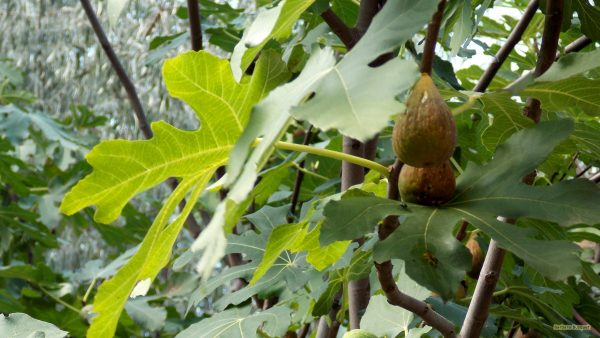 Wallpaper with figs in tree