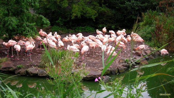 Bird wallpaper with flamingos near water