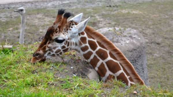 Giraffe head wallpaper