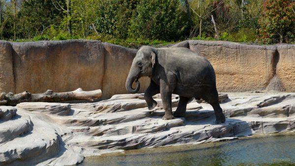 HD wallpaper Elephant near water