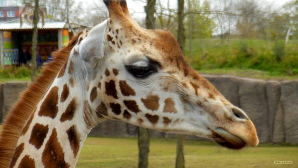 HD wallpaper giraffe head