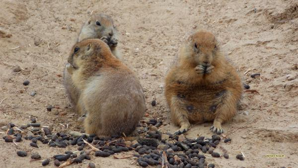 HD wallpaper prairie dogs eating