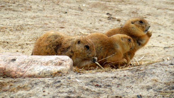 HD wallpaper three Prairie dogs