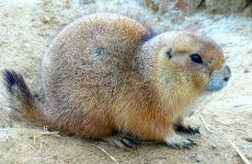 Prairie dog wallpapers