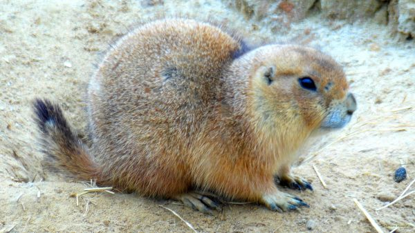 Prairie dog close-up photo