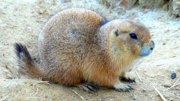 Prairie dog close-up photo