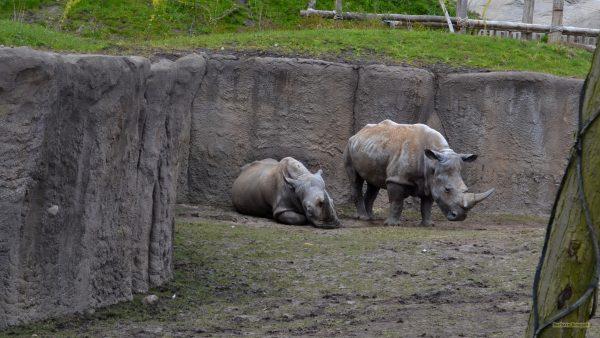 Rhino wallpaper with two rhinos