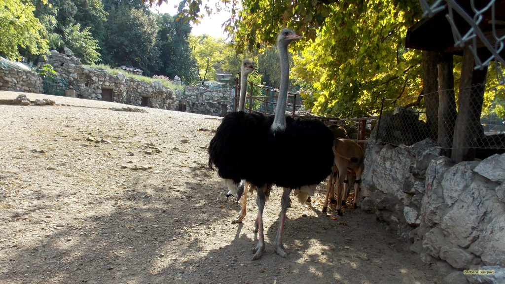 Wallpaper with ostriches