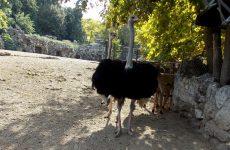 Ostriches in a zoo