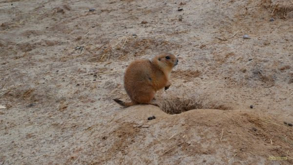 prairie dog near a hollow