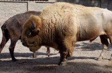 Two bisons (or buffaloes)