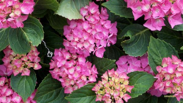 Desktop wallpaper pink hydrangea
