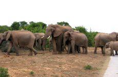 Wild elephants on the road