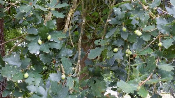 Forest wallpaper oak tree