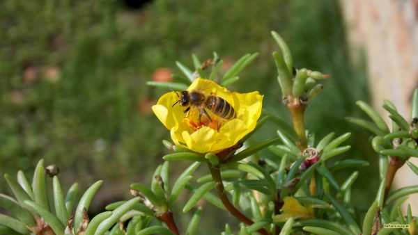 HD wallpaper Bee in a yellow flower