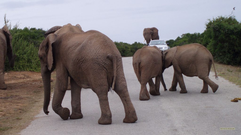 Elephants on the road in South Africa.