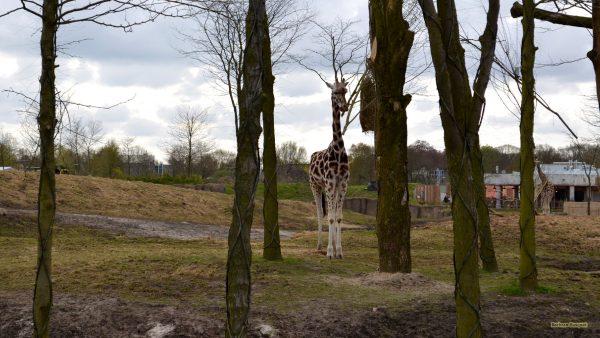 HD wallpaper Giraffe between the trees