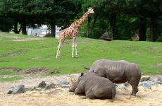 Two rhinos and giraffe
