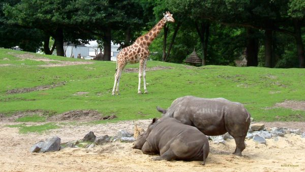 HD wallpaper Two rhinos and a giraffe