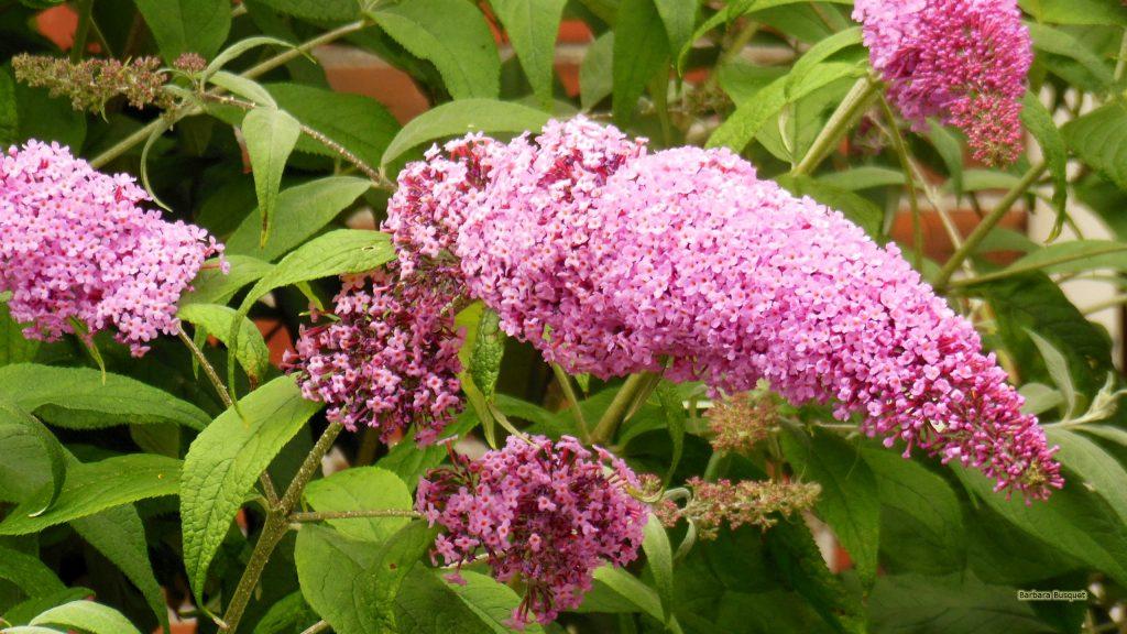 HD wallpaper pink Buddleja butterfly bush