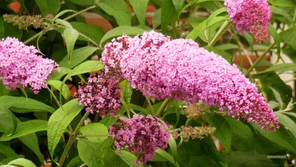 HD wallpaper pink Buddleja butterfly bush