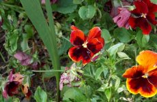 Red and orange violets