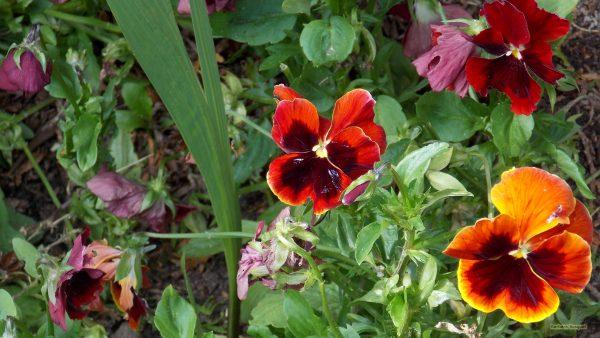 HD wallpaper red and orange violets