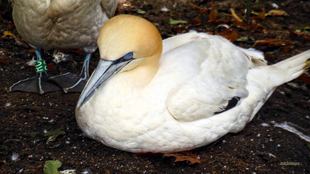 HD wallpaper white yellow solan goose
