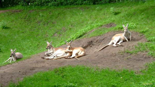 HD wallpaper with kangaroos on a hill