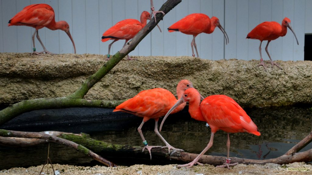 HD wallpaper with red scarlet ibises