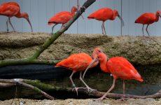 Red scarlet ibises