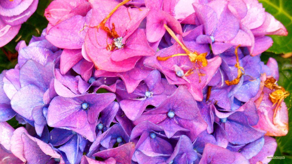 Pink blue hortensia flowers