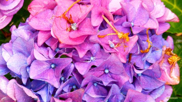 Pink blue hortensia flowers