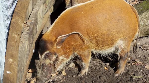 Red river hog wallpaper in zoo