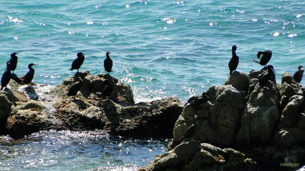 Black cormorants or shags in the ocean
