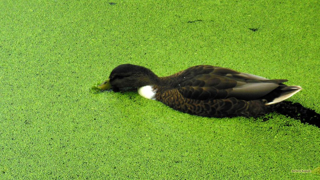Duck swimming in duckweed
