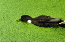 Duck with duckweed