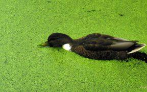 Duck swimming in duckweed