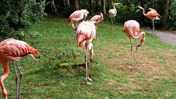 Flamingoes on one and two legs