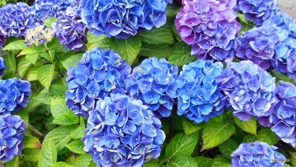 Flower background Blue Hydrangea