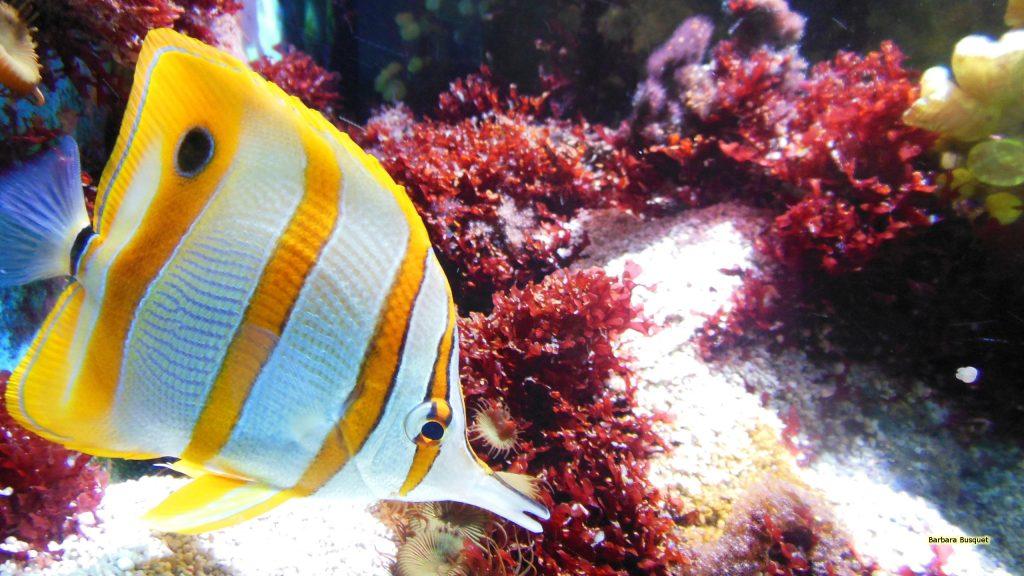 HD wallpaper Beaked coral fish