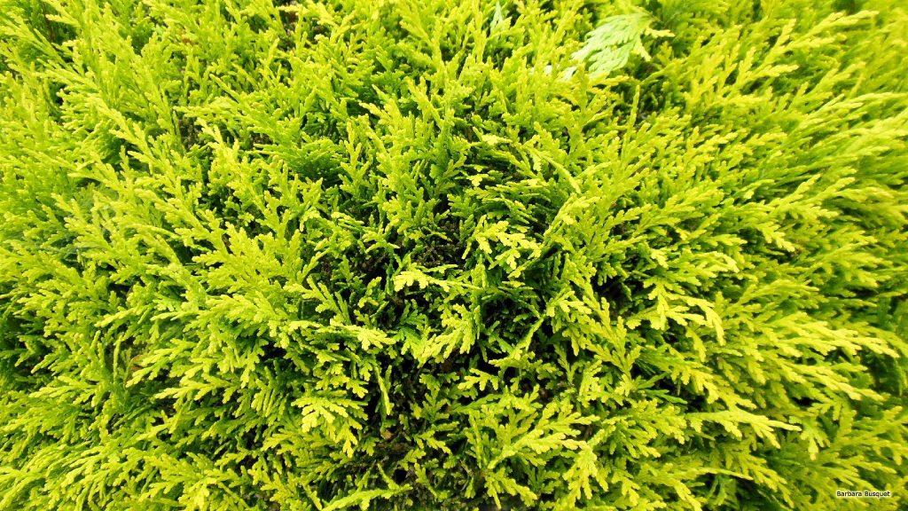 HD wallpaper close-up of conifer tree