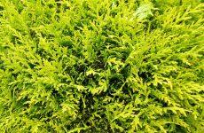 Close-up photo Conifer tree