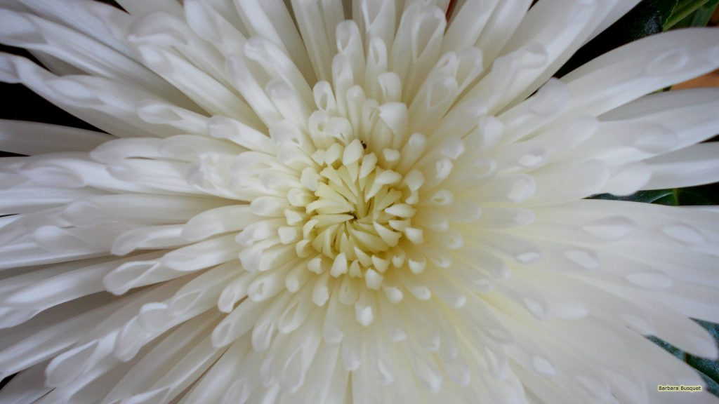 HD wallpaper close-up white flower