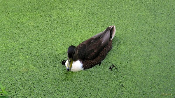 HD wallpaper duck in water with duckweed