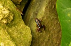 Brown blue frog in a tree