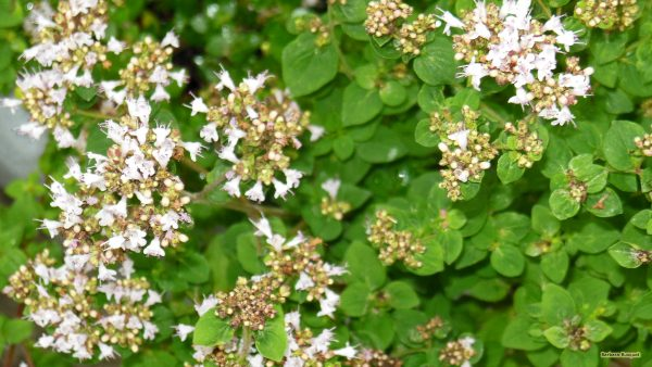 HD wallpaper plant with small white flowers