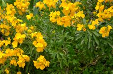 Plant with yellow flowers